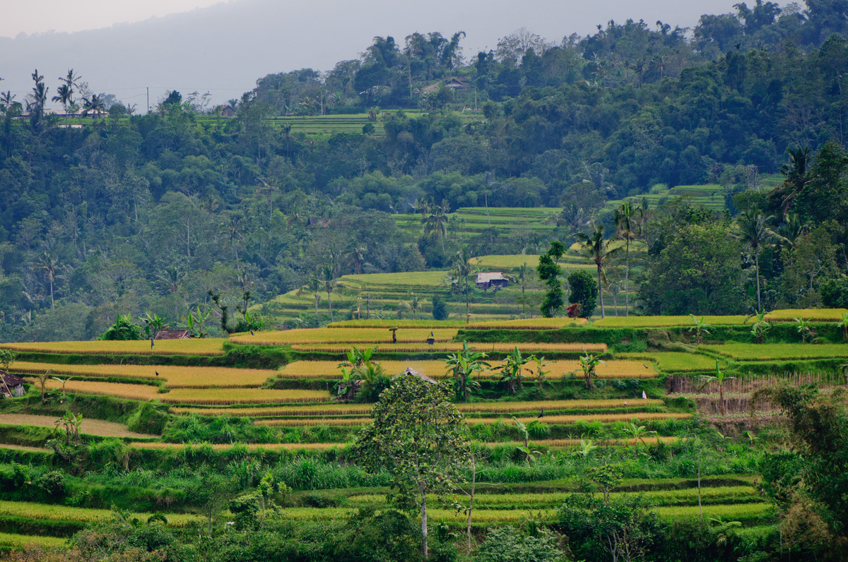 Some shots of the terraced rice paddies found in the mountains north of Denpsar, Bali, Indonesia.