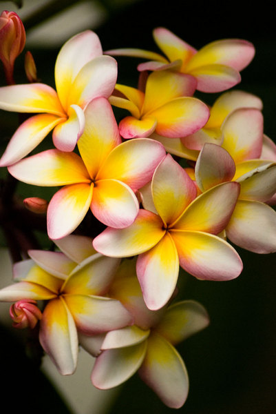 My frangipani tree is beautiful at sundown.