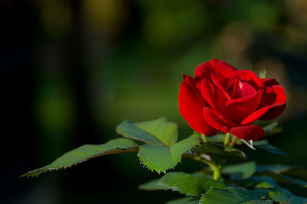 A rose outside our guest house in Lakatoro.