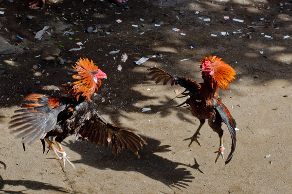 Scenes from a traditional cockfight in Mataram, Lombok, Indonesia.
