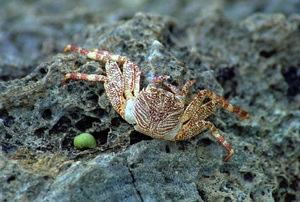 The beaches of Vanuatu are rife with small creatures scuttling