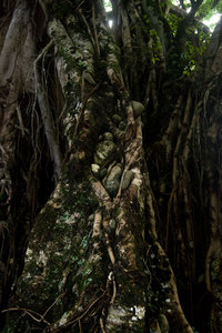 These photos document a puzzling and - as far as I can tell - unique phenomenon. A nambanga (banyan) tree growing near the shore in Waterfall village in central Pentecost island has its entire root system filled with stones ranging in size from small pebbles to 20 cm or more. At first I thought this was the work of local children playfully sticking stones into the gaps between the many hanging roots, but it quickly became clear that this was not the case. It seems that the tree's habit of grabbing onto whatever's nearest has, in this particular locale, resulted in a tree that hoards stones and pebbles.