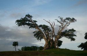 This old banyan - or nambanga - tree has been standing on the golf course at Le Lagon resort for ages. It's been damaged by a succession of storms over the last few years, but is still standing.