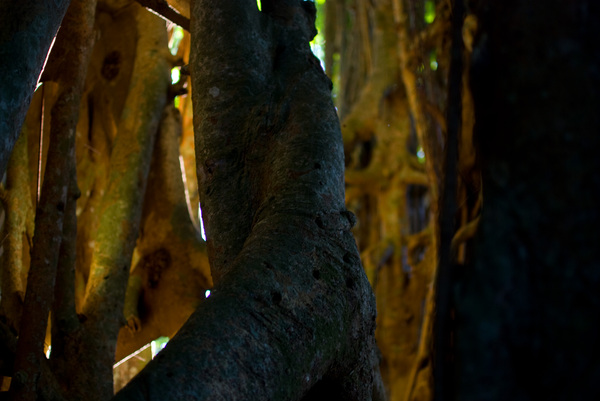 The sun was setting on the other side of this nambanga (banyan) tree, making it appear to glow within.