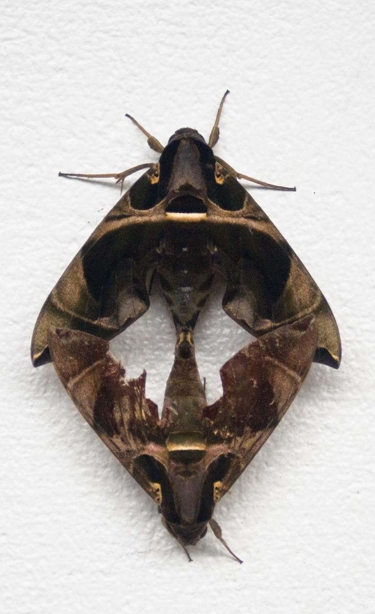 I stepped out of the house one morning to find these moths right by my front door. Fascinating.