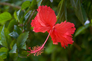 Hibiscus flowers bloom everywhere in Port Vila, but they're terribly difficult to photograph well. This is the best I've managed in four and a half years, and it's only workmanlike.