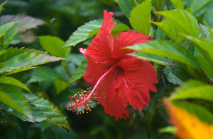 Another photo of a hibiscus flower. They're everywhere, but very hard to photograph.