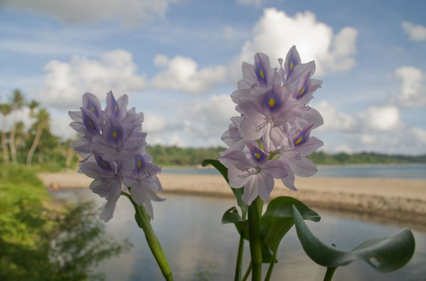 My brother Jacob found this flower near the river that empties into Blacksand beach just outside of Port Vila.