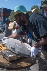 Flash frozen yellowfin tuna from Honiara are trans-shipped into a refrigerated container in Port Vila.